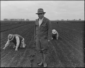 Agricutural Workers in Celery Field